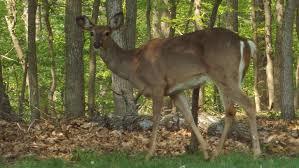 Deer On Alert.png