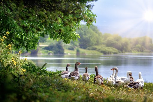 Geese by a lake