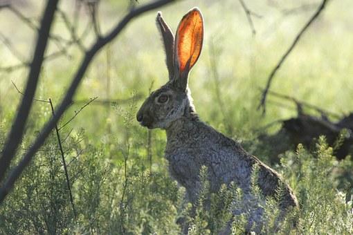 Rabbit listening