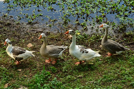 Geese following