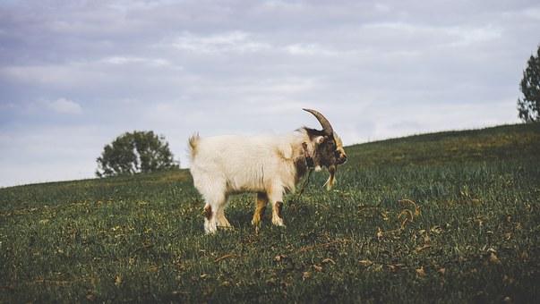 Ram on a hill