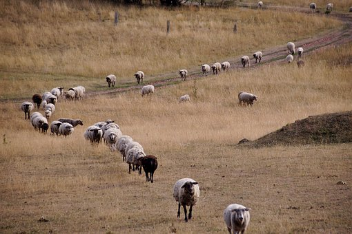 Sheep returning home
