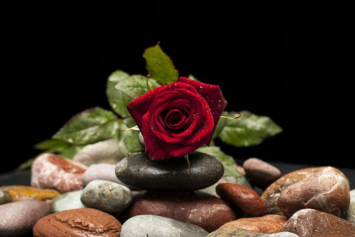 Red rose on rocks