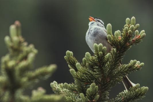 Gray bird singing