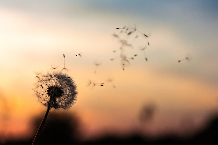 Wind blown dandelion
